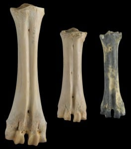 Comparison of foot bones (metatarsals) from a water buffalo (Bubalus bubalis; left), a tamaraw (B. mindorensis; center), and the extinct dwarf buffalo, B. cebuensis (right).