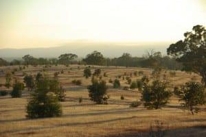 A typical woodland habitat in southeast Australia.