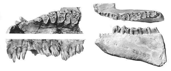 AcropithecusS67