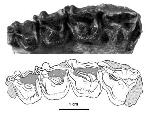 Chilestylops holotype