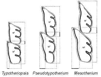 Mesotheriine upper teeth