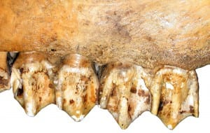 High, rounded upper molar cusps of a modern elk (Cervus elaphus), an ungulate that feeds on a mixture of vegetation.