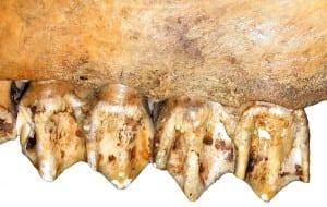 High, rounded upper molar cusps of a modern elk (Cervus elaphus), an ungulate that feeds on a mixture of vegetation.