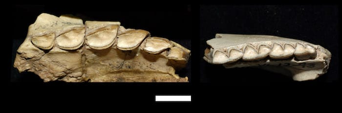 Upper (left) and lower (right) teeth of Hemihegetotherium torresi. Photos by D. Croft. Reuse permitted under CC BY-NC-SA 2.0.