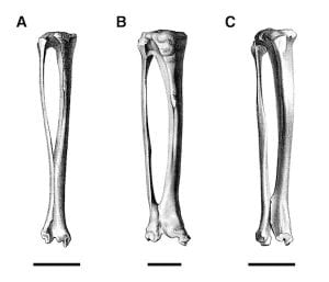 Left tibia and fibula of the pachyrukhine Pachyrukhos moyani (A) and the hegetotheriine Hegetotherium mirabile (B) compared to the interathere Protypotherium australis. From Croft et al. (2004).
