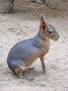 A mara or Patagonian hare (Dolichotis patagonicus), an ungulate-like rodent from southern South America.