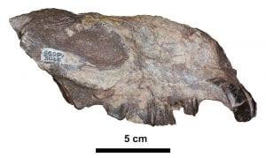 Eomorphippus