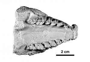 Palatal view of a cast of the holotype palate, nose to the left